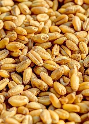 Пшеница экологическая розница