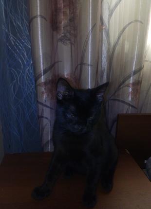 Шотландский остроухий котенок