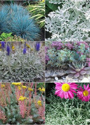 Сизолистные растения для сада