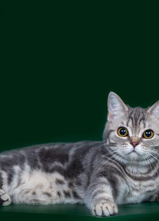 Эксклюзивные шотландские кошечки.