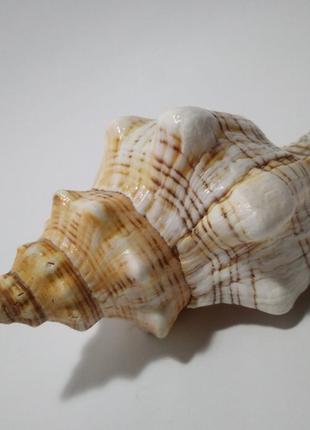 Ракушка морская большая