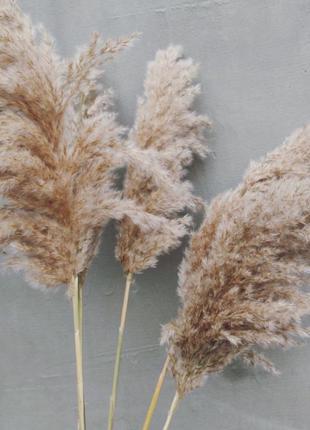 Пампасная трава, кортадерия, тростник, сухоцветы