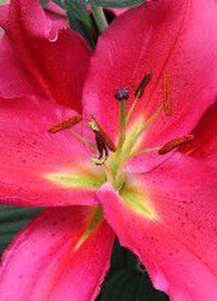 Продам срочно луковицы лилии.они могут зимовать в земле и в погре