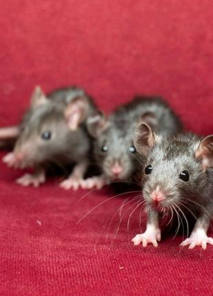 Крысята, крысы, крыски