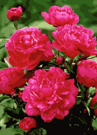 Картина по номерам Ярко розовые пионы, размер 40-50 см.