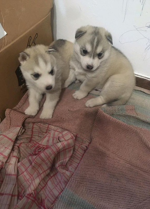 Продам щенки Сибирская хаски, мальчик и девочка