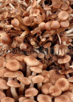 Продам разні вид грибів сухий і маринованих(цени в опесанія)