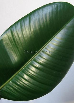 Листья фикуса для лечения спины