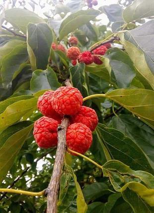 Клубничное дерево-саженцы кудрании 1.5летние с открытым корнем