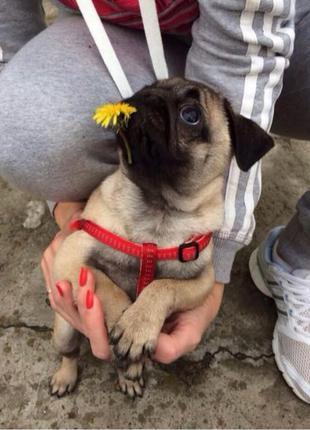 Красная шлейка для щенка , маленькой собаки