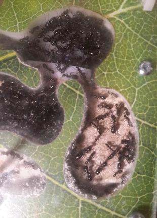 Формикарий с муравьями степной бегунок