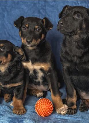 Невероятные щенки ищут  семьи немножко ротвейлеры или босерон