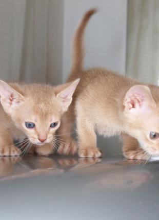 Абиссинская кошка котята окраса фавн