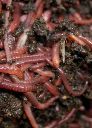 Красный калифорнийский червь ККЧ