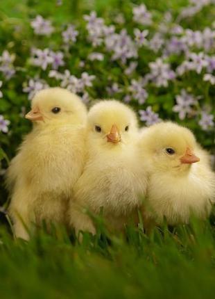 Инкубационное яйцо бройлера кобб 500 от молодой курицы