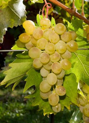Сок 100% натуральный с винограда