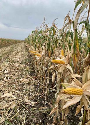 Семена кукурузы ДБ Варта (ФАО 280). Урожай 2020г.