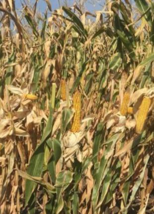 Семена кукурузы ДН Астра (ФАО 270). Урожай 2020г.