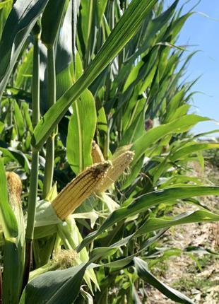 Семена кукурузы ДН Страйд (ФАО 230). Урожай 2020г.