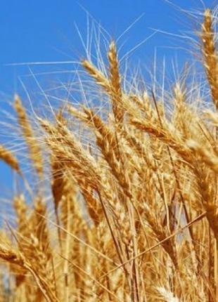 Семена озимиой пшеницы Миссия Одесская(дост.держ.компенсация)