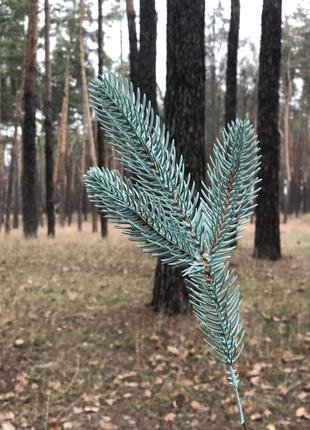 Ветки голубой и зелёной ели