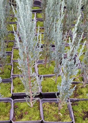 Хвойные и лиственные растения для доращивания