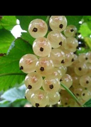 Смородина белая (семена 20 шт)