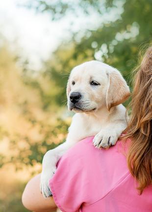Чистокровный щенок лабрадора-ретривера, родословная UKU-КСУ
