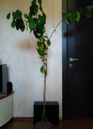 Лимон,дерево лимонное высота 1 м 85см