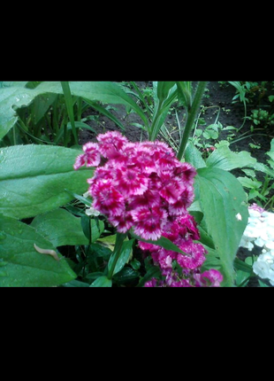 Гвоздика Турецкая (семена 2 г)
