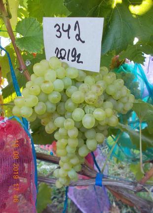 Саженец винограда кишмиш 342