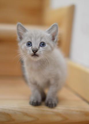 Кот котенок сиамская полосатая невская маскарадная