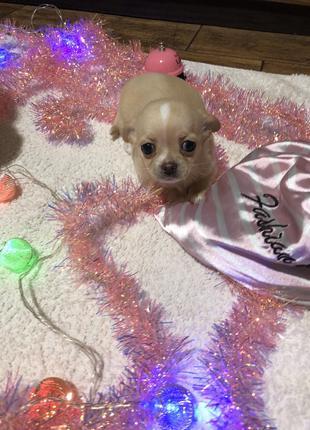 Продам щенка чихуахуа