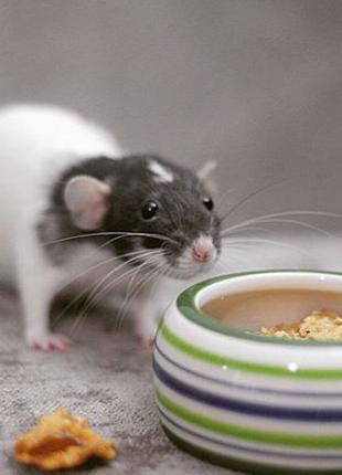 Крысы оптом