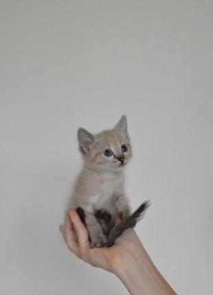 Метиз тайская невская маскарадная сиамская полосатая кот котенок