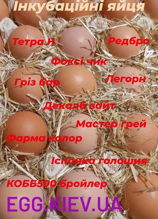 Яйця інкубаційні