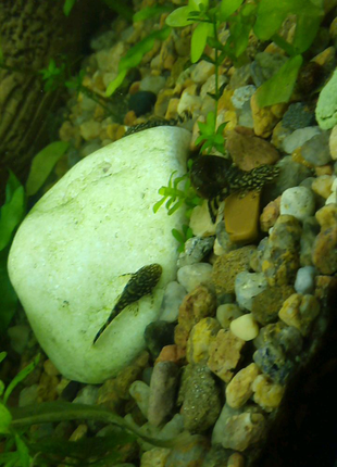 Рыбки сом Анциструс