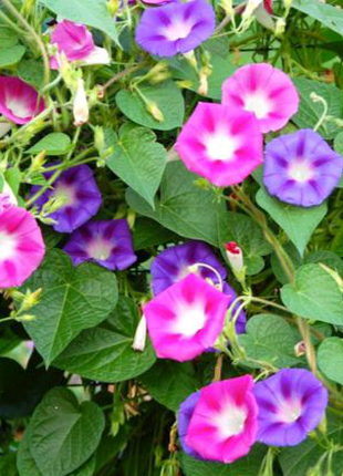 Ипомея разноцветая (Вьюнок крупноцветковый) по 15 семян