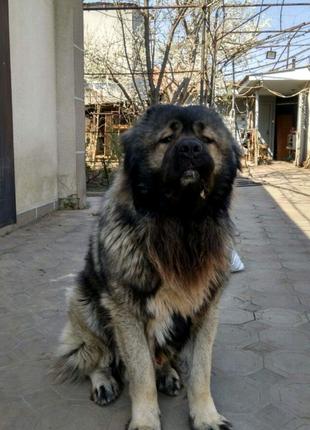 Кобель кавказской овчарки вязка