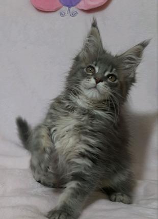 Котята мейн кун из питомника.