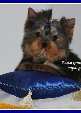 Подарочный сертификат на покупку чистокровного щенка с гаранти...