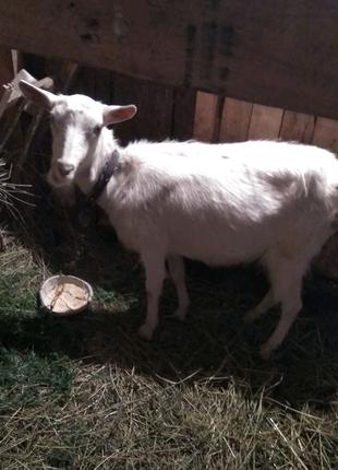 Продам козу.
