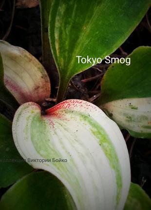 Полосатая хоста Tokyo Smog