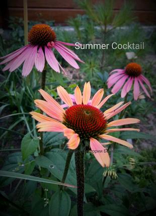 Эхинацея Summer Cocktail