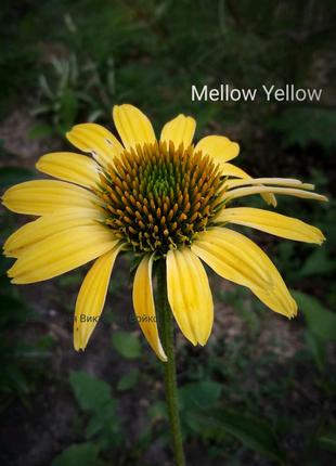 Эхинацея Mellow Yellow