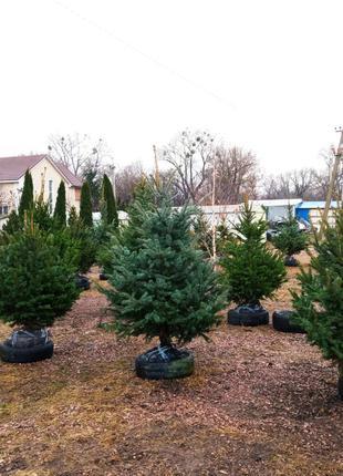 Крупномерные деревья.  Посад материал.  Услуги посадки и гарантии