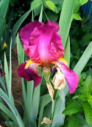 Цветы Ириса