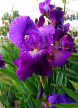 Цветы Ириса фиолетовый