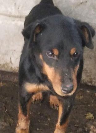 Собака Ягтерьер