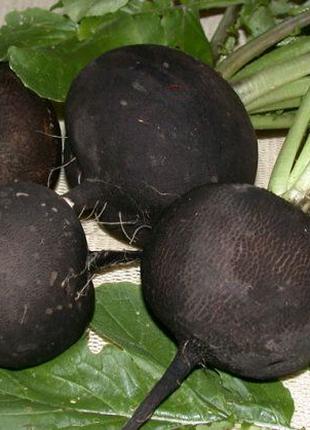 Редька черная (семена 100 шт)